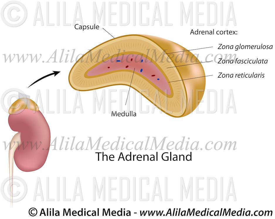 The Adrenal Gland Alila Medical Images