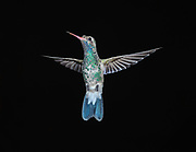 Broad-billed Hummingbird (Cynanthus latirostris) in flight, San Juan Cosala, Jalisco, Mexico