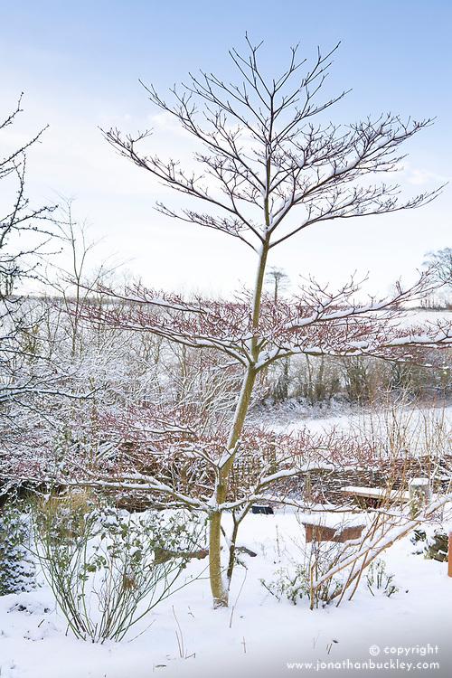 Cornus controversa 'Variegata' on a snowy winter's day at Glebe Cottage