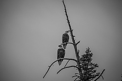 Two bald eagles perched at the top of a tree