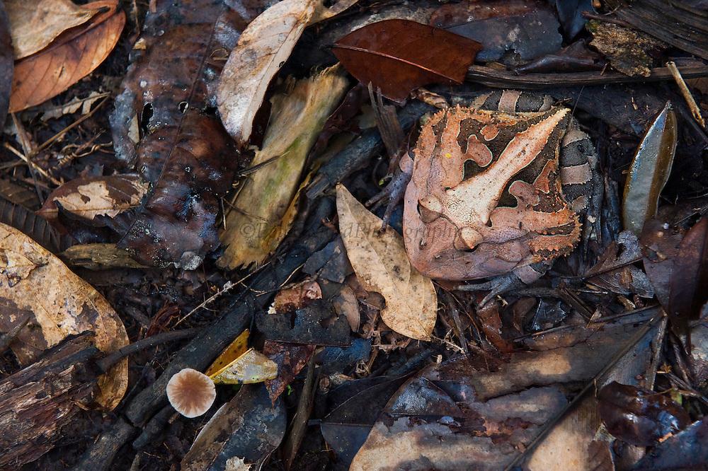 Amazon Horned Frog (Ceratophrys cornuta)<br /> Rain Forest<br /> Iwokrama Reserve<br /> GUYANA<br /> South America