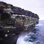 Fulmars nesting on ledges of a sea cliff, Papa Westray ,Orkney Islands, Scotland
