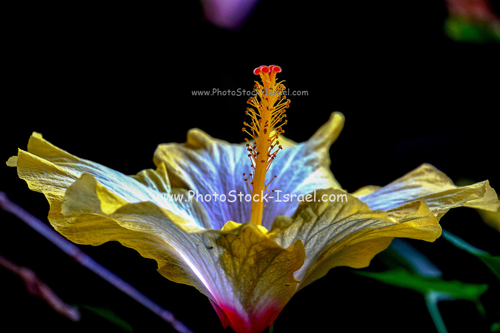 Closeup of a perfect yellow Hibiscus flower