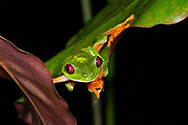 A male Red-eyed Tree Frog (Agalychnis callidryas) in Bocas del Toro, Panama