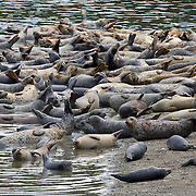 A harbor seal haul out, called a rookery during pupping season, in South Puget Sound. Washington.