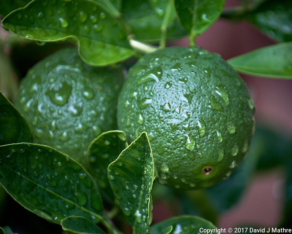 Raindrops on green limes. Backyard urban garden in St. Petersburg. Image taken with a Fuji X-T2 camera and 100-400 mm OIS lens (ISO 200, 400 mm, f/5.6, 1/60 sec).