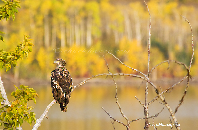Immature bald eagle on branch above Lower St Mary lake near Babb Montana