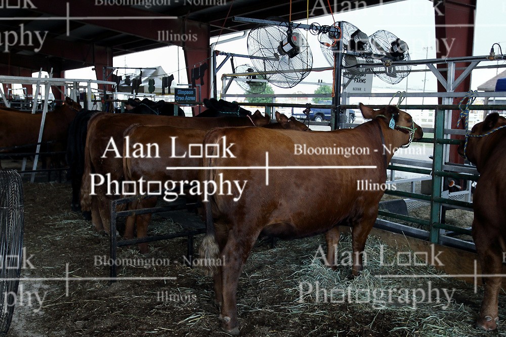 03 August 2017:  Cows in cow barn at 2017 McLean County Fair<br /> <br /> #alphoto513