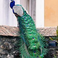 http://Duncan.co/peacock