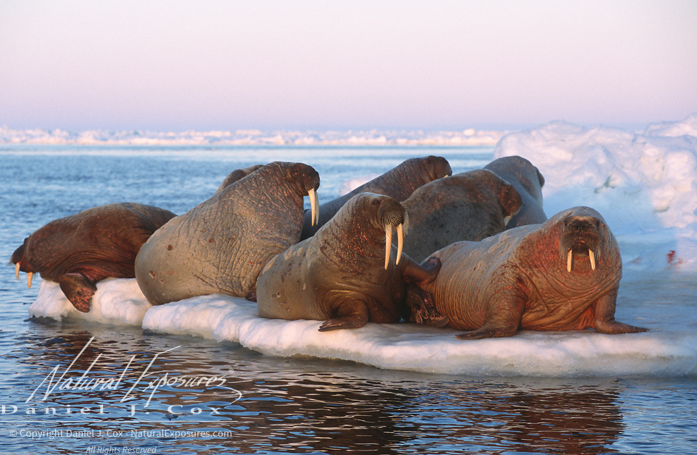 Walrus (Odobenus rosmarus) on an ice flow near Baffin Island, Canada.