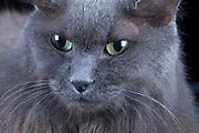 (Smokey) Domestic gray long hair cat