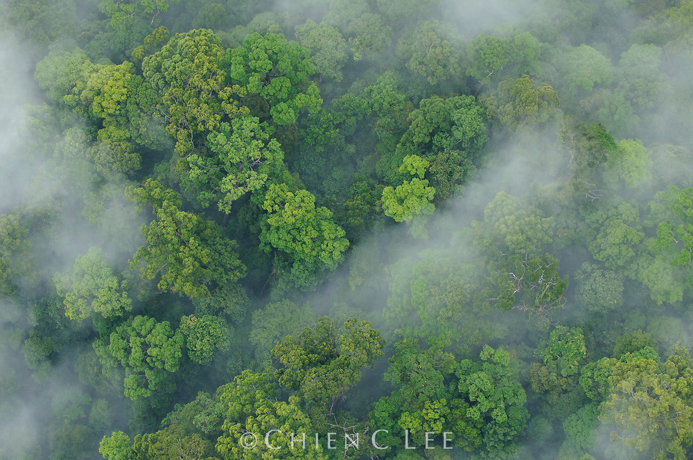 An aerial view reveals the thick mist rising from the canopy after heavy rains on virgin rainforest in northern Borneo. These forests often receive over 4000ml of rain annually. Sabah, Malaysia.