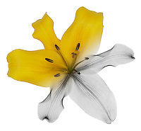Blended x-ray image of an Oriental lily by Jim Wehtje, specialist in x-ray art and design images.