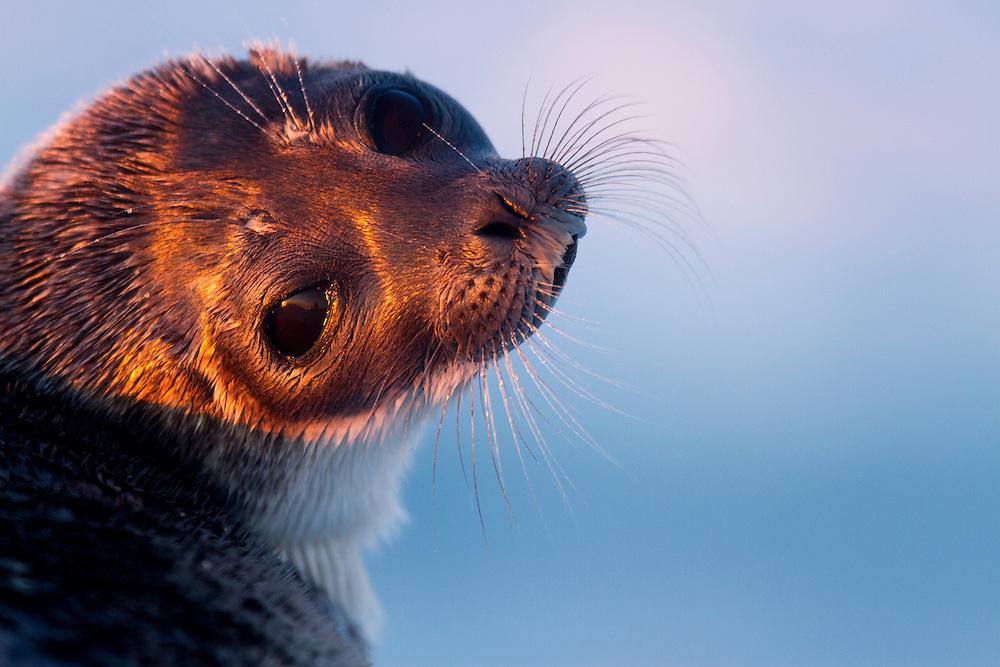 Canada, Manitoba, Baby Ringed Seal (Pusa hispida) resting on sea ice at sunset on Hudson Bay
