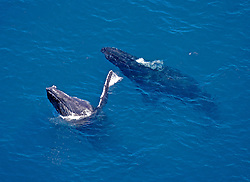 A pair of Humpback whales surface just off Broome's Cable Beach