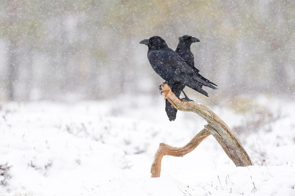 Ravens  in snow-covered bog, Estonia