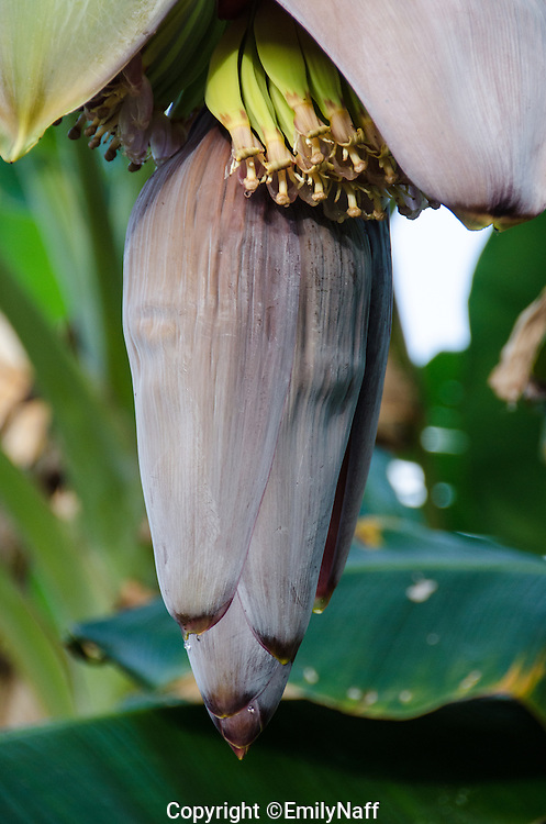 Early bananas can be seen growing on this banana tree.
