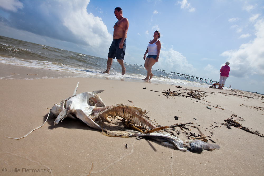 Dead Catfish in Long Beach, Mississippi on the beach.<br /> An unprecedented number of dead animals   have washed up on the shores of Mississippi along the Gulf of Mexico starting almost a year after the BP oil spill.