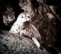 A seal sits on a rock near Victoria, British Columbia, Canada.