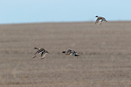 Drake pintail in breeding plumage