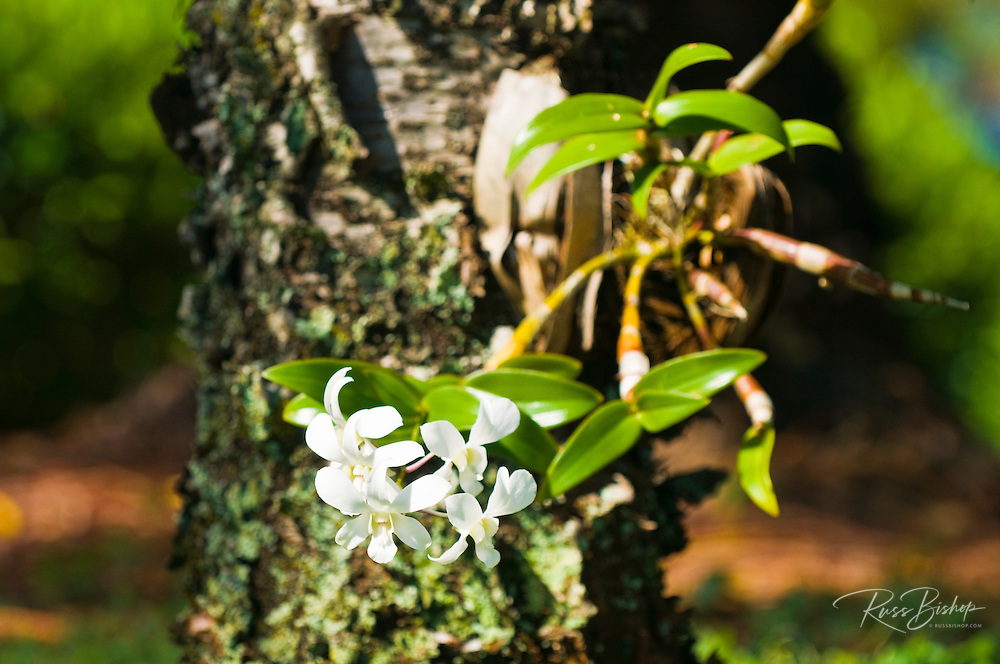 Orchid growing out of the trunk of a tree, Island of Kauai, Hawaii