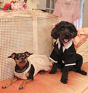 "Pippins (right) is wearing the Leonardo DiCaprio Tux, and Bella is wearing the Jennifer Lopez gown from the Academy Awards.  Pippins is a six year old ""pound puppy.""  Bella is a seven year old Miniature Pinscher."