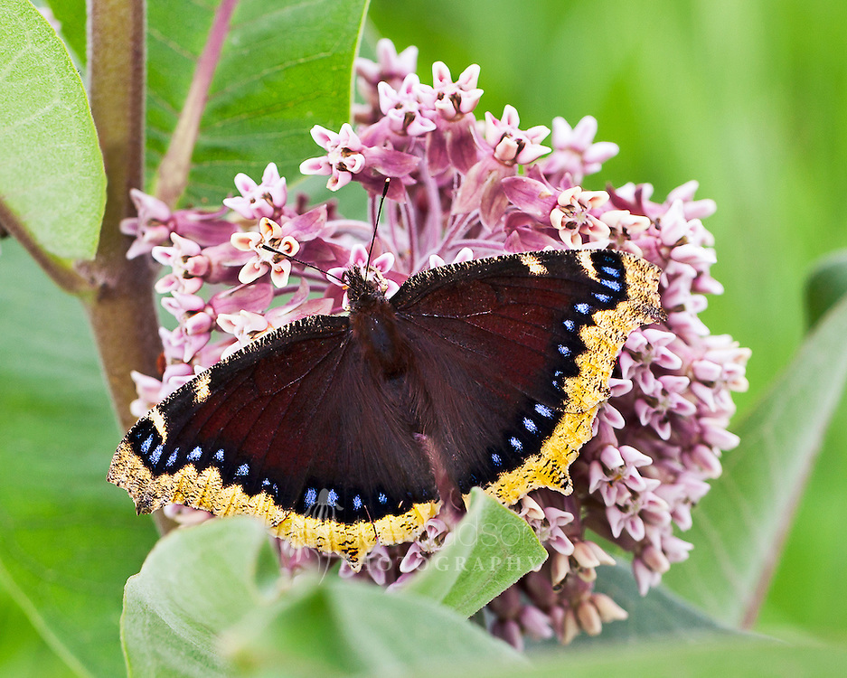 Here a Mourning Cloak butterfly feeds on the nectar of the common milkweed flower. This awesome butterfly does not migrate, but instead has the amazing ability to hibernate and survive through the very cold winters on the prairie. To survive, they produce chemicals in their body that prevent them from freezing.<br />