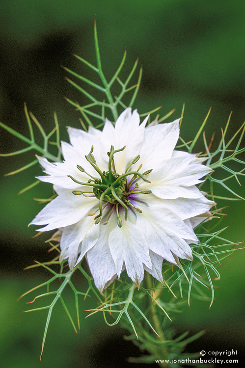 Nigella damascena alba (Persian Jewel Series). Love in the mist
