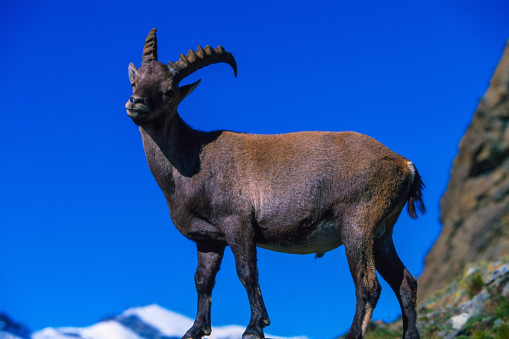 Alpine ibex, Swiss Alps (Capra ibex), Near Zermatt, Switzerland