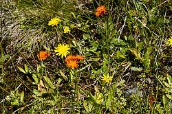 Oranje havikskruid, Hieracium aurantiacum