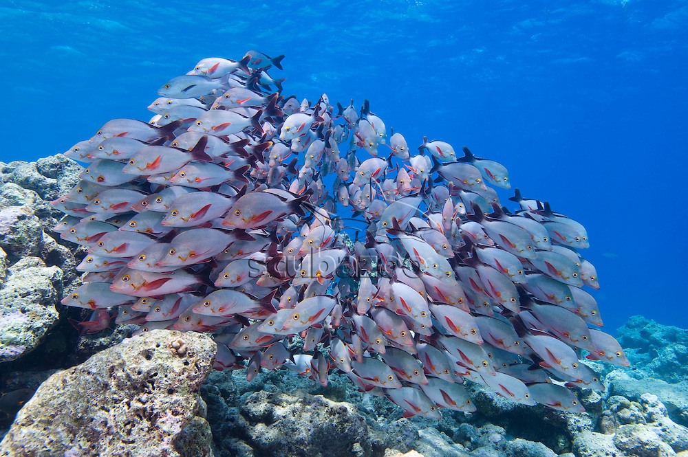 School of Humpback Red Snappers, Lutjanus gibbus, swimming over rocky reef, Vaavu Atoll, The Maldives