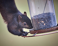 Black Squirrel Raiding the Bird Feeder. Image taken with a Nikon D5 camera and 600 mm f/4 VR telephoto lens (ISO 1000, 600 mm, f/4, 1/640 sec)