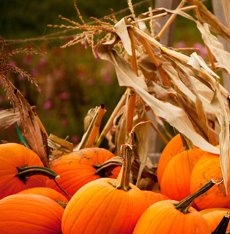 Pumpkins and Corn stocks
