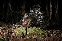 The Malayan porcupine or Himalayan porcupine (Hystrix brachyura) is a species of rodent in the family Hystricidae