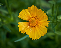 Lance-leaf Coreopsis. Image taken with a Leica CL camera and 35 mm f/1.4 or 60 mm f/2.8 lens