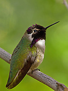 Costa's hummingbirds are abundant in the deserts of southwestern Arizona from March to April at the height of the breeding season. After breeding, this tiny bird returns to Mexico where it spends the winter.