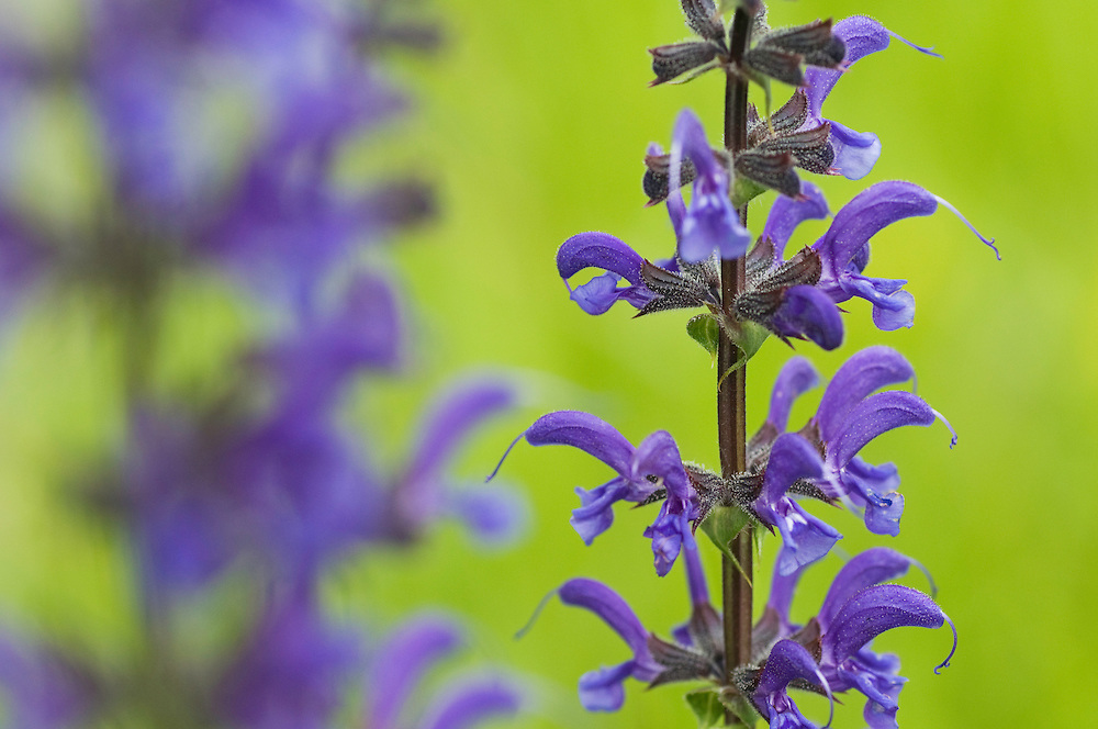 Salvia pratensis; Meadow clary, Ruggellerriet, Liechtenstein