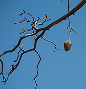 The fruit of an African Baobab Tree (Adansonia digitata). Photographed at the Kunene River (Cunene River), the border between Angola and Namibia, south-west Africa