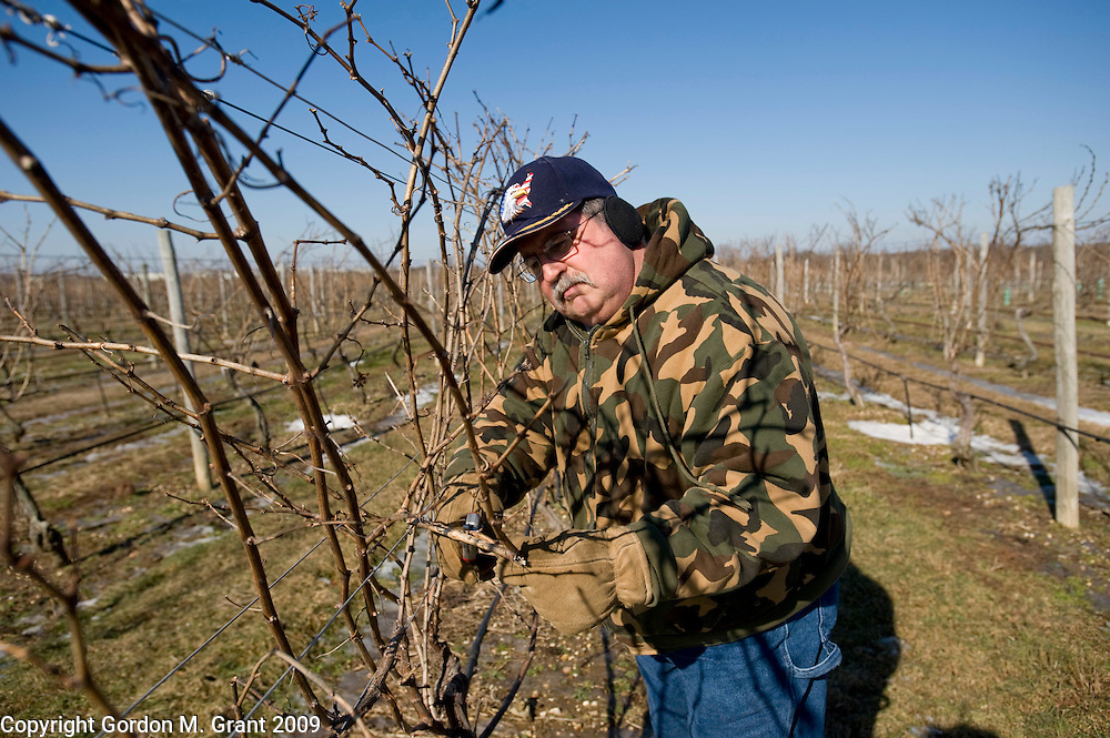 Riverhead, NY - 1/29/09 - Mike King, Vineyard Manager at Palmer Vineyards, trims the vines at Palmer Vineyards in Riverhead, NY January 29, 2009.   (Photo by Gordon M. Grant)