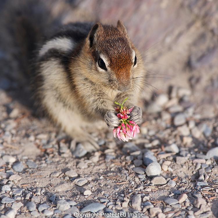 Golden-mantled Ground Squirrel. (Callospermophilus lateralis), Alberta, canada, Isobel Springett