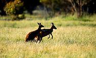 """27-10-2016 AUSTRALIA - kangaroe in het wild staatsbezoek Kangoeroes willem alexander en maxima aan australie van 31 oktober tot en met 4 november Kangaroos  near Perth in the wild in Australia Kangoeroes zijn een familie van buideldieren die voorkomen in Australië en Nieuw-Guinea. Daarnaast zijn ze ingevoerd op Hawaï en in Engeland en Nieuw-Zeeland. De naam Macropodidae betekent """"grootpotigen"""", wat verwijst naar hun enorme achterpoten. ROBIN UTRECHT"""