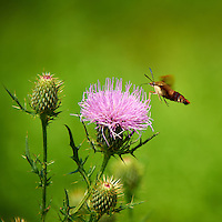 Hummingbird Clearwing Moth on Thistle Bloom. Sourland Mountain Preserve, Summer Nature in New Jersey. Image taken with a Nikon D700 and 28-300 mm VR lens (ISO 200, 300 mm, f/5.6, 1/800 sec). Raw image processed with Capture One Pro 6, Nik Define, and Photoshop CS5.