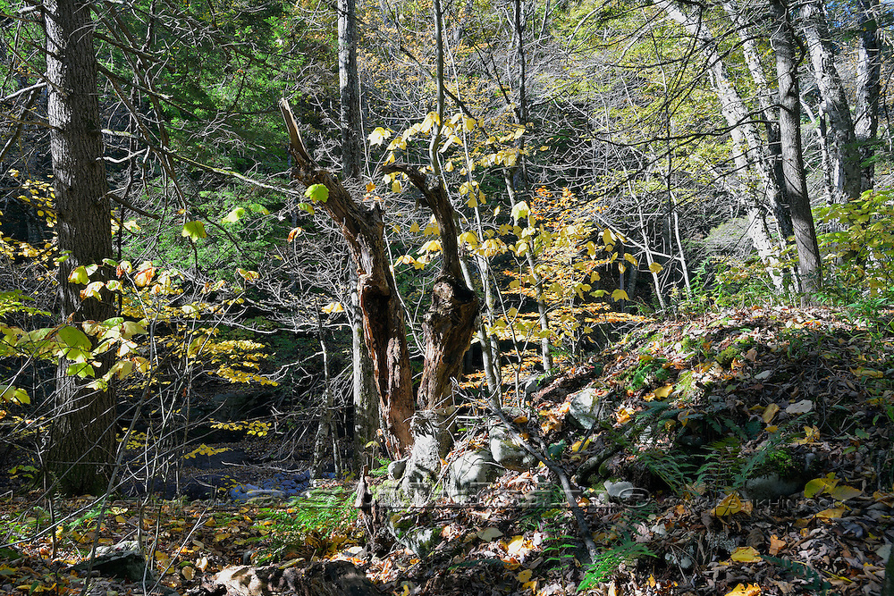 Forest in Catskill Mountains, NY.