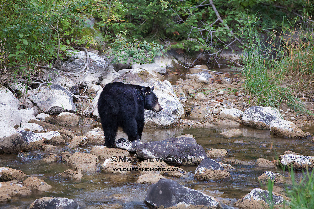 Black Bear drinking from a creek in Grand Teton National Park