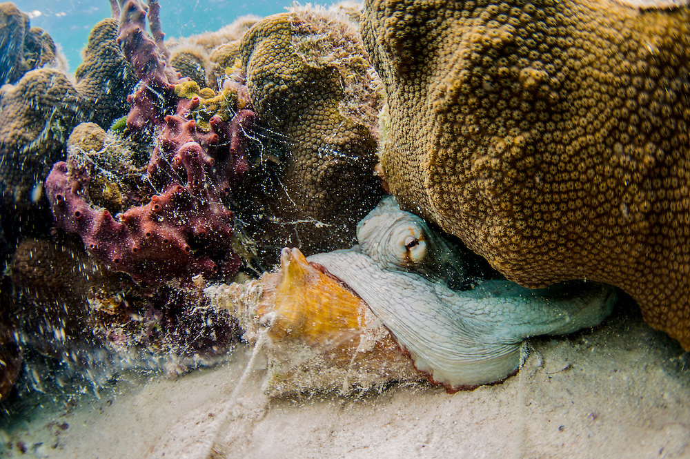 Conch are not only food for people, many animals also enjoy feasting on them. Here a common octopus chows down.