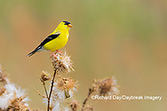 01640-16418 American Goldfinch (Spinus tristis) male eating seeds at thistle plant Marion Co. IL