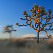 Grandfather Joshua Tree Dusk - Lensbaby