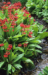 Candelabra primula<br /> Primula x chunglenta ( P. chungensis x P. pulverulenta ) growing by a stream.