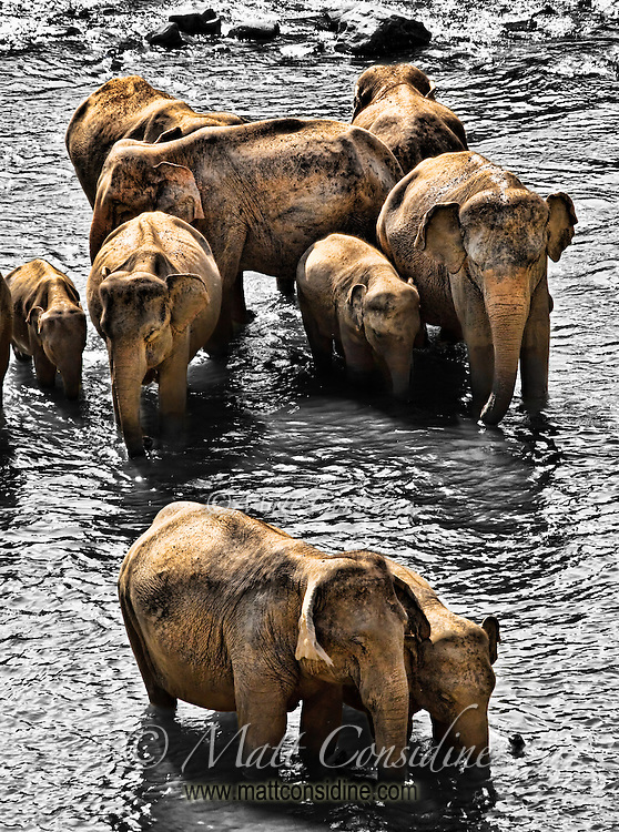 Families of elephants cooling off in the river.<br /> (Photo by Matt Considine - Images of Asia Collection)