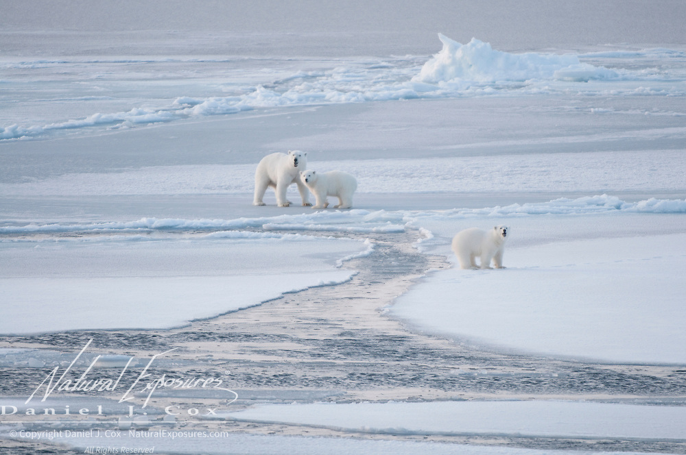 A mother polar bear and her two cubs navigate the newly forming and unstable ice in the Chukchi Sea.